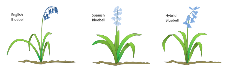 bluebell_types